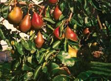 Gränna Äkta Rödpäron