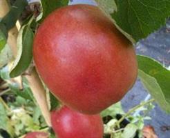 Pelarträd Pomfital röda äpple vår