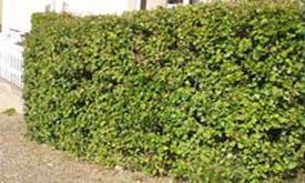 Ribes alpinum Schmidt co slutsålda