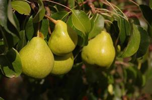 Clara Frijs co stora päron