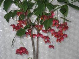 Euonymus planipes 60-80 cm