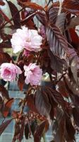 Prunus Royal Burgundy