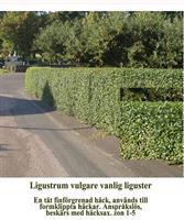 Ligustrum vulgare 50-80