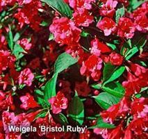 Weigela Bristol Ruby co