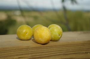 Prunus Mirabella de Nancy