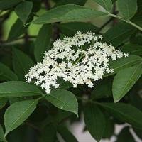 Sambucus nigra fläder