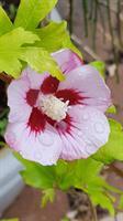 Hibiscus syr Red Heart slutsålda
