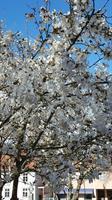 Magnolia stellata 50-60 cm
