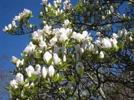 Magnolia kobos slutsålt
