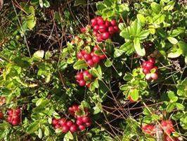 Lingon Vaccinium  vitis-idaea endast vå