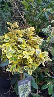 Euonymus fort Emerald Gold 60-80 cm