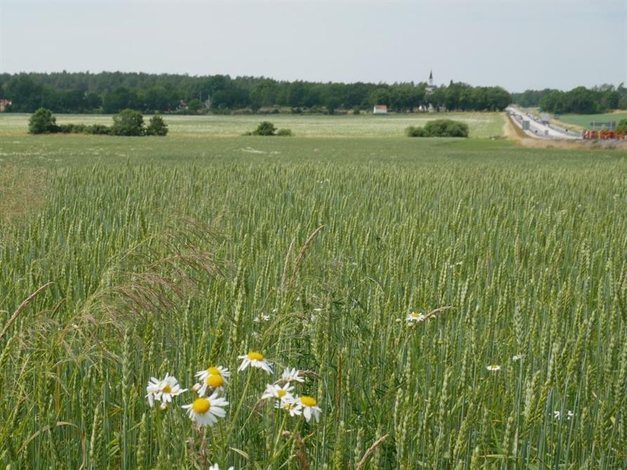 Naturvärdesinventering inför ombyggnad av E-22 mellan Ronneby och Nättraby. I vänsterkanten syns det rödlistade gräset kösa.