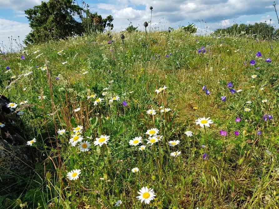 Blomprakt på slåtteräng vid Högstena, Falköpings kommun