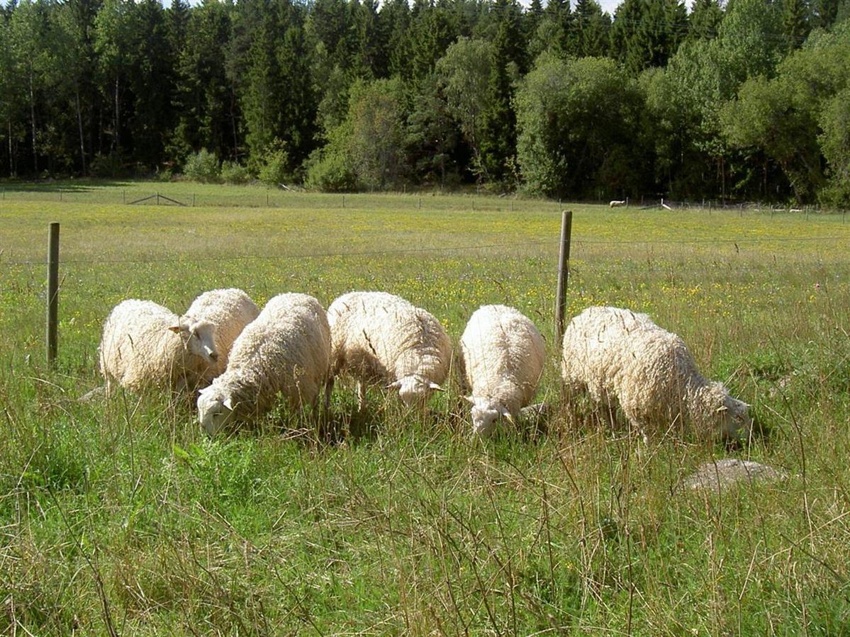 Våra riksbedömda baggar 2013. Ymer får betäcka en betäckningsgrupp, som kommer att lamma 2014.
