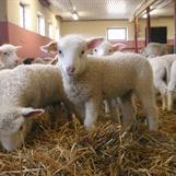 Lammen på Grävelsta föds under mars och april.