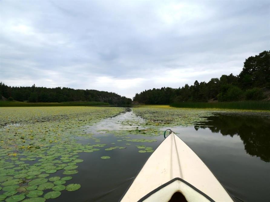 Inventering av den invasiva växten sjögull i Grindsbyvattnet på Orust