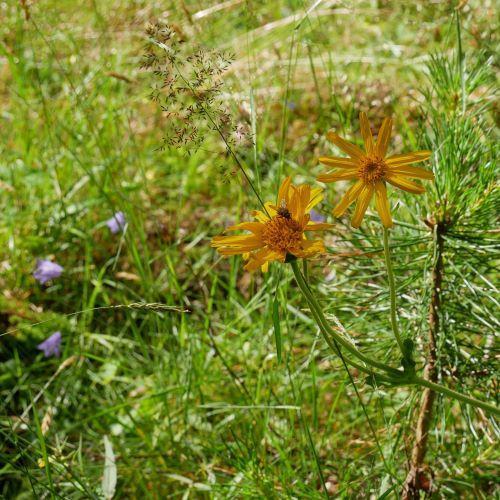 Blommande slåttergubbe på en halvö i Stora Le.