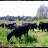 Anguskor på Grävelsta gård i Vallentuna
