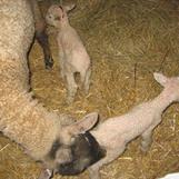 Tackan Ella med sina första lamm.
