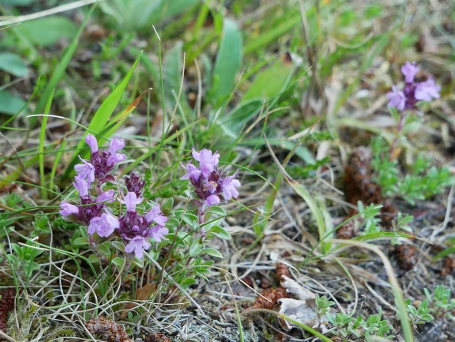 Backtimjan, rödlistad art på slåtteräng i Ulricehamns kommun