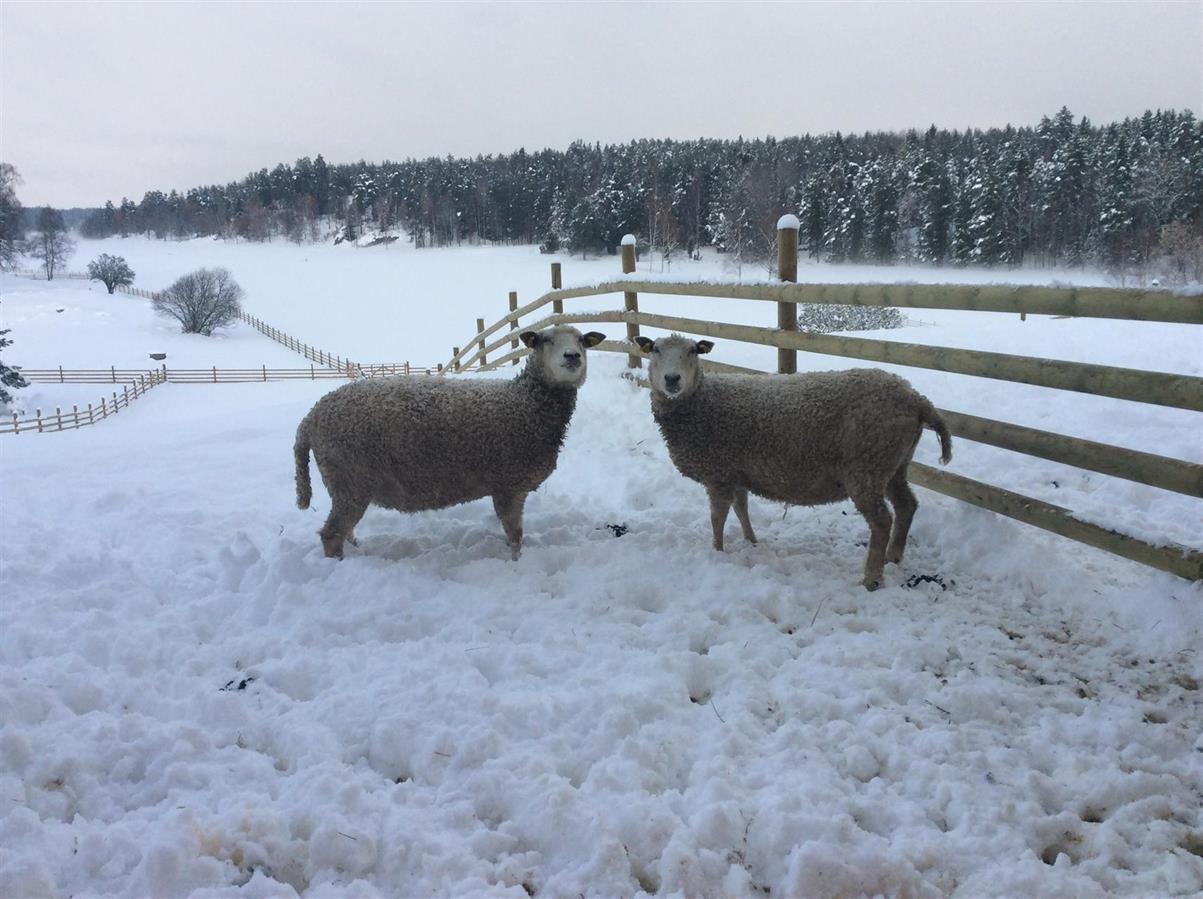 Vinterhagar på Grävelsta.