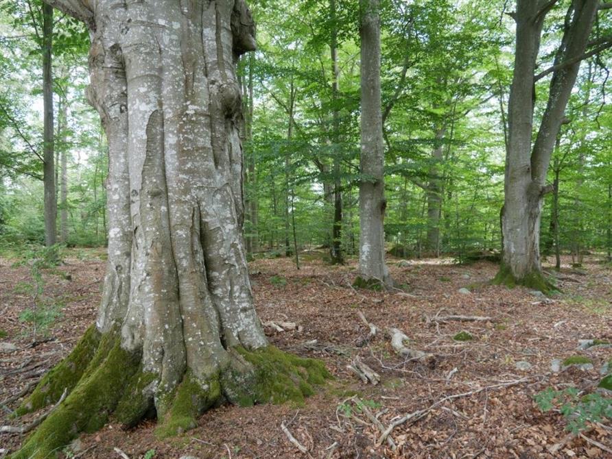 Skyddsvärd bokskog nära E22 i Blekinge.