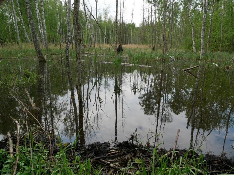 Här blev det våtare än vi räknat med! Bävrar hade anlagt stora dammar i vår inventeringsterräng norr om Skövde.