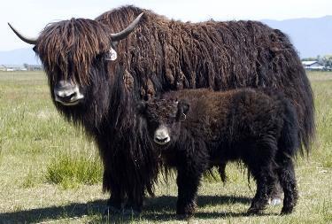 Yak oxe ko med kalv