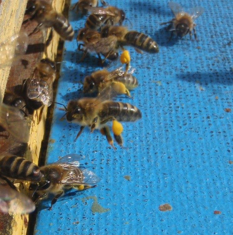 Bin med gult pollen