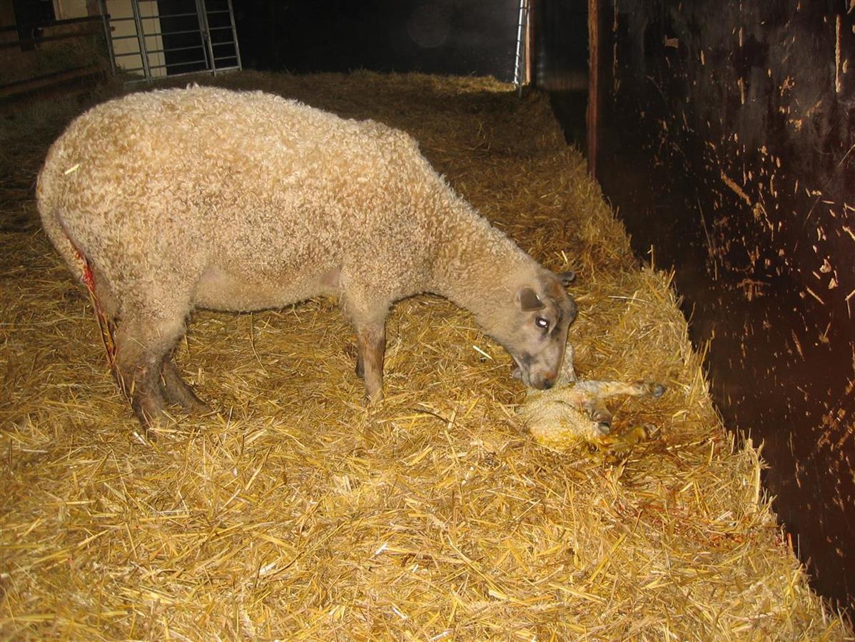 Första lammet föds på Grävelsta, våren 2008