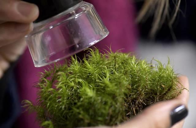 Mossan kan rena dricksvatten från arsenik
