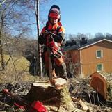 Nertagning av farliga träd vid en bostadstättsförening i göteborg