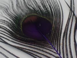 Påfågel ögonfjäder lila