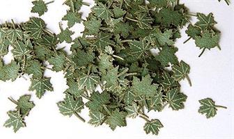 Grønne løvblader - Lønn