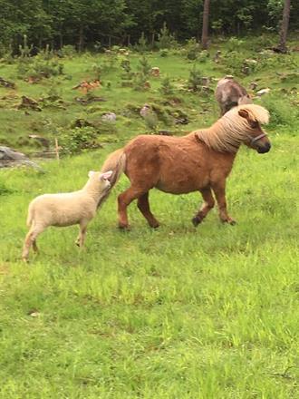 I tilbyr ponniridning i hele sommerferien, og har fine bondegårdsdyr på beite i parken