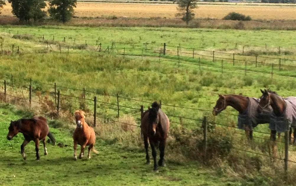Gårdens hästar har kul tillsammans