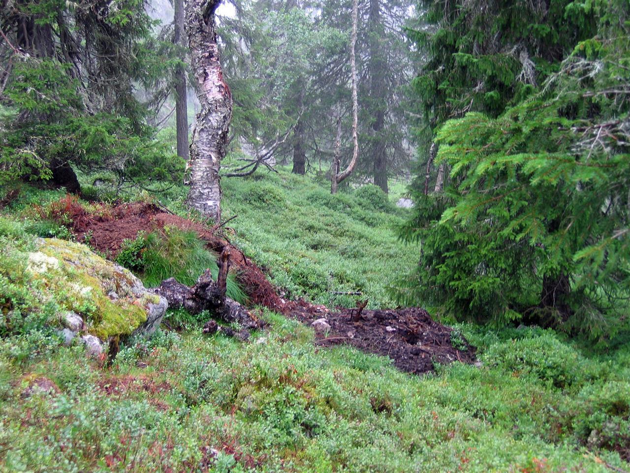 Et sammenrast bjørnehi i skogen
