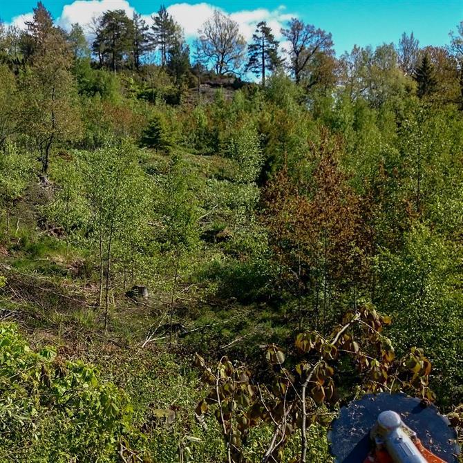 Ungskogpleie med innslag av bjørk