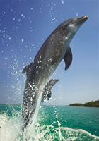 Puslespill Delfiner, 500 brikker