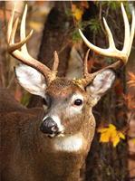 Male etter nummer, Hjort 40*50cm (C4346)