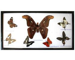 Fjärilar - Atlas & 6st i ram (5 pack)