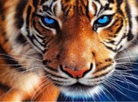 Diamond Painting, Tiger m/blå øyne 50*40cm ( LIE0730) FPR