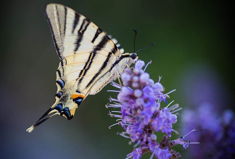 Segelfjäril, Kreta