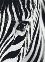 Diamond Painting, Zebra ansikt 40*50cm FPR