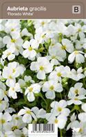 Ristikki 'Florado White'