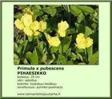 Pihaesikko pubescens