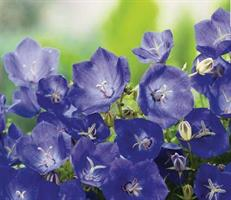 Karpaattienkello Perla blue