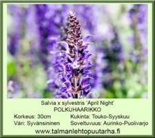 Loistosalvia 'April Night'