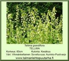 Tellima grandiflora