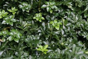 Varjoyrtti Green carpet